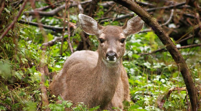 The Meaning of Deer in Native American Culture